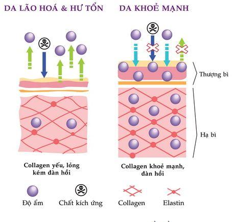 sản sinh collagen và elastin 2
